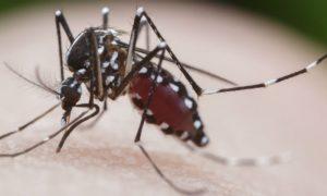 Toda picada do mosquito Aedes aegypti transmite a dengue? Saiba mais!